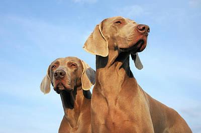 Weimaraner Photograph - Two Dogs, Weimaraner by Werner Schnell