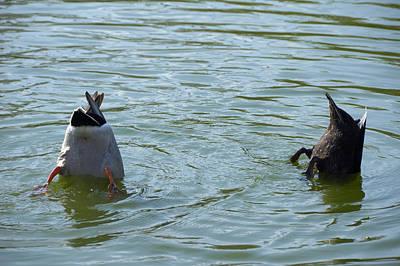 Two Ducks Diving Print by Matthias Hauser