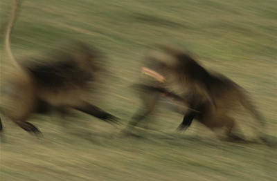 Two Male Geladas Charge Each Other Print by Michael Nichols