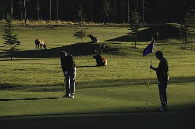 Two People Play Golf While Elk Graze Print by Raymond Gehman