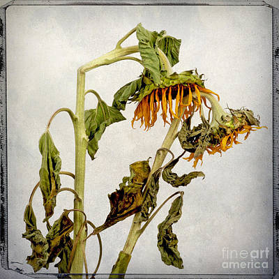 Two Sunflowers Print by Bernard Jaubert