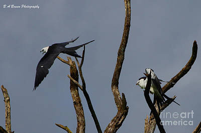 Two Swallow Tailed Kites In A Snag Original by Barbara Bowen