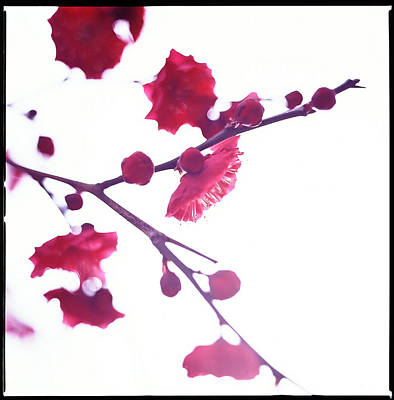 Ume Blossom Under The Sun Print by Moaan