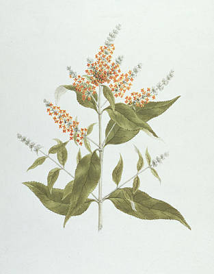 Umtar - Buddleia Polystachya Print by James Bruce