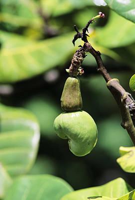 Unripe Cashew Nuts Print by David Nunuk