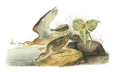 Sandpiper Painting - Upland Sandpiper by John James Audubon