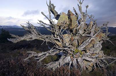 Uprooted Scot's Pine Tree Print by Duncan Shaw