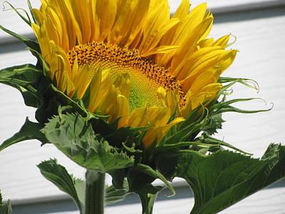 Upward Sunflower Original by Amy Bradley