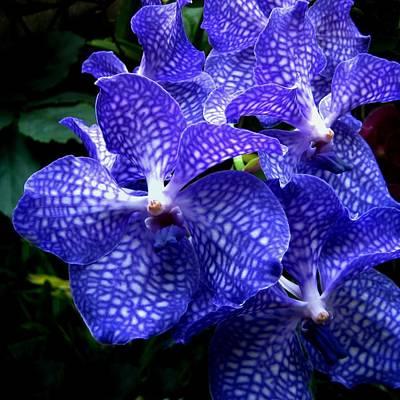 Vanda Orchids Print by Shirley Sirois