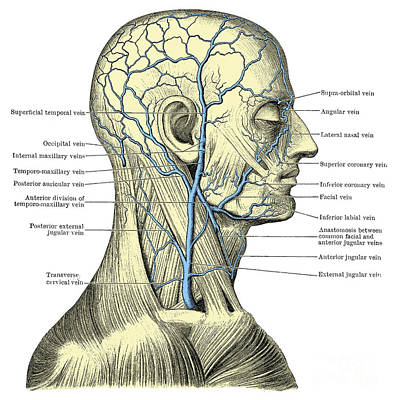 Veins Of The Head And Neck Print by Science Source