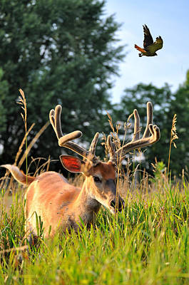 Bucks In Velvet Photograph - Velvet Hawk by Emily Stauring