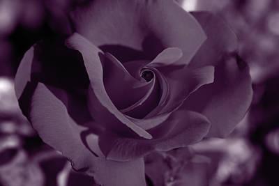 Foxglove Flowers Photograph - Velvet Rose by Aidan Moran