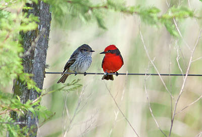 Flycatcher Photograph - Vermilion Flycatcher In Love by Edith Polverini