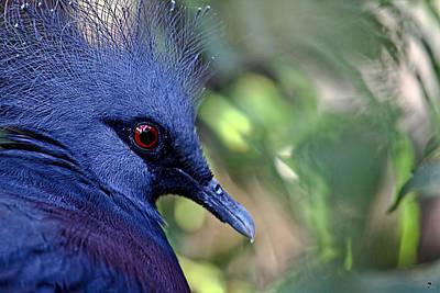 Victoria Crowned Pigeon Original by Jason Blalock