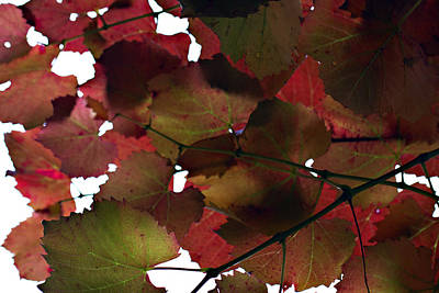 Vine Leaves Print by Douglas Barnard