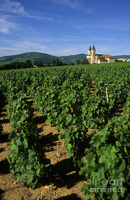 Beaujolais Photograph - Vineyard. Regnie-durette. Beaujolais Wine Growing Area. Departement Rhone. Region Rhone-alpes. Franc by Bernard Jaubert