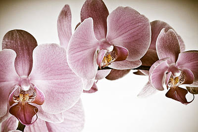 Vintage Orchid Print by  Onyonet  Photo Studios