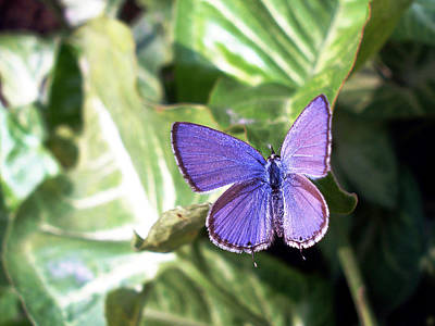 Butterfly Photograph - Violet Butterfly by Sumit Mehndiratta