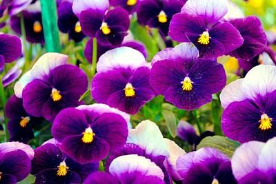 Violet Pansies Print by Sumit Mehndiratta
