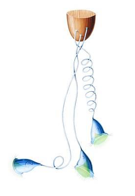 Vorticella Protozoa, Artwork Print by Francis Leroy, Biocosmos