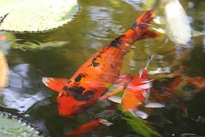 Photograph - Wakin Goldfish by Gonca Yengin
