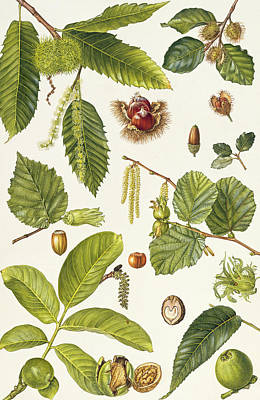 Walnut And Other Nut-bearing Trees Print by Elizabeth Rice