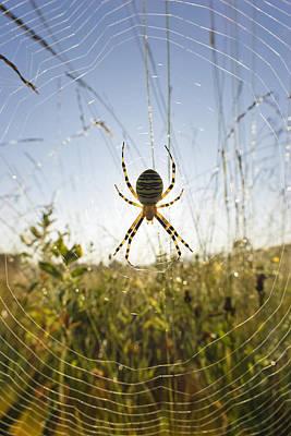 Wasp Spider Argiope Bruennichi In Web Print by Konrad Wothe