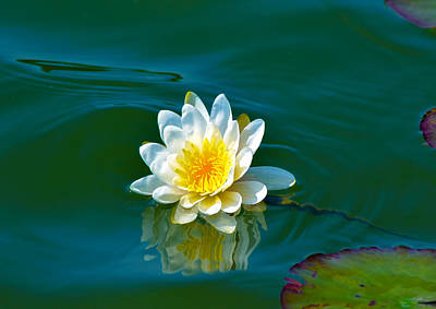 Water Lily 4 Print by Julie Palencia