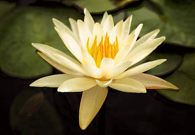 Waterlily Photograph - Water Lily by Darren Fisher