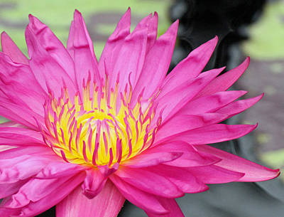 Photograph - Water Lily In Pink by Becky Lodes