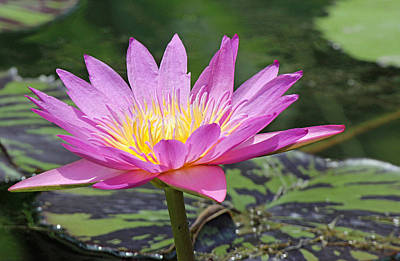 Photograph - Water Lily On A Sunny Day by Becky Lodes