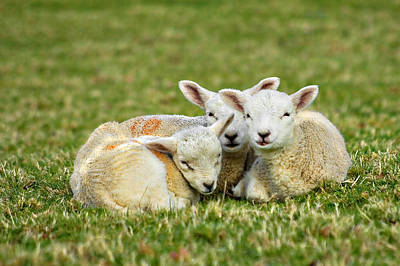 Baby Wool Photograph - We Are Three by Meirion Matthias
