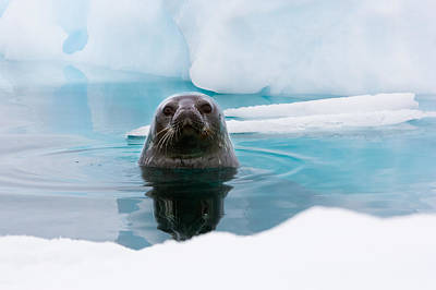 Weddell Seal Looking Up Out Of The Water, Antarctica Print by Mint Images/ Art Wolfe