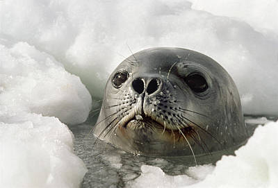 Weddell Seal Poking Head Through Breathing Hole In Ice, Close-up Print by Doug Allan