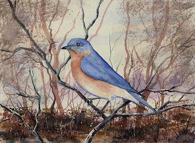 Western Bluebird Print by Sam Sidders