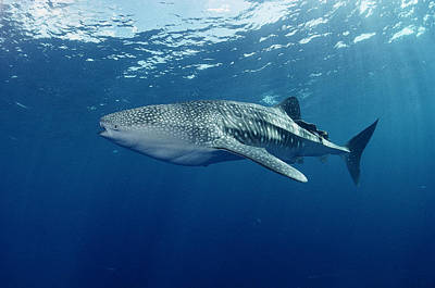 Whale Shark Cocos Island Print by Flip Nicklin
