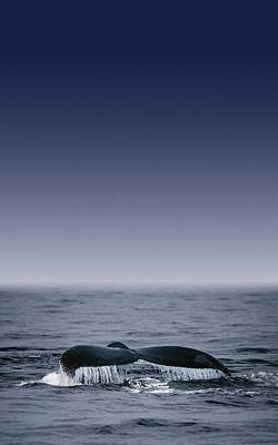 Whales Fluke Print by Darren Greenwood