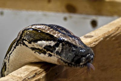 Snake Photograph - What Is In The Box by LeeAnn McLaneGoetz McLaneGoetzStudioLLCcom