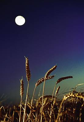 Simple Beauty In Colors Photograph - Wheat Field At Night Under The Moon by The Irish Image Collection