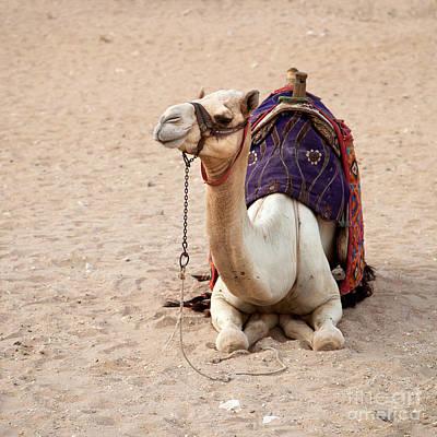 White Camel Print by Jane Rix