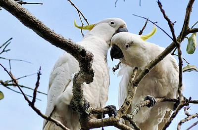 White Cockatoos Print by Kaye Menner