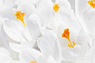 White Crocus Blossoms Print by Elena Elisseeva