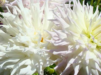 White Dahlia Flowers Art Prints Floral Print by Baslee Troutman