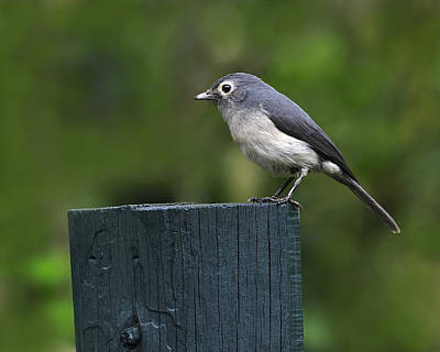 Flycatcher Photograph - White-eyed Slaty Flycatcher by Tony Beck