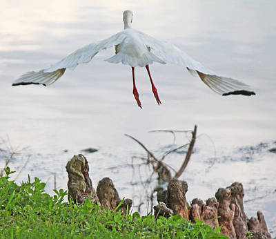White Ibis Liftoff Print by Becky Lodes