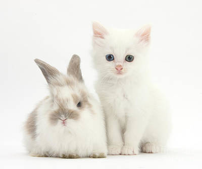 White Kitten And Baby Rabbit Print by Mark Taylor