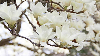 White Magnolias Print by Becky Lodes