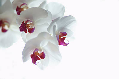 Pink Orchid Petals Photograph - White Orchid Blossoms by photography by Spencer Bowman