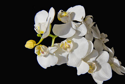 Photograph - White Orchid by Stephen EIS