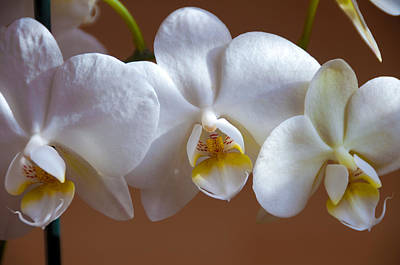 Wet Orchids Photograph - White Orchid  by Svetlana Sewell
